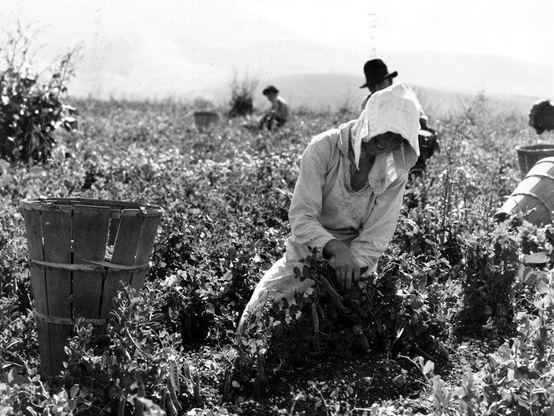 Migratory workers harvesting peas near Nipomo, California